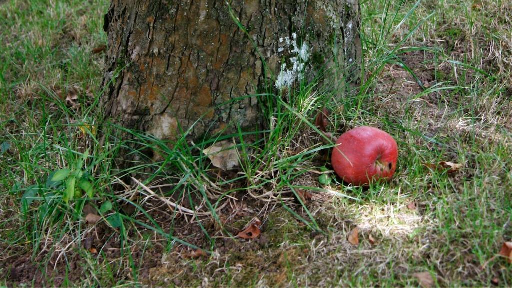 apple fruit falls near its tree